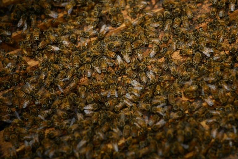 Bees swarm when a queen leaves a hive to found a colony of her own