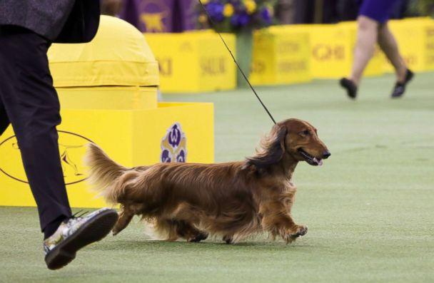 PHOTO: 'Walmar-Solo's OMG' a longhaired Dachshund won first in the Hound Group at the 143rd Westminster Kennel Club Dog show at Madison Square Garden in New York, Feb. 11, 2019. (Caitlin Ochs/Reuters)