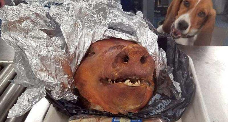 Hardy the beagle eyes off the pig's head (pictured)