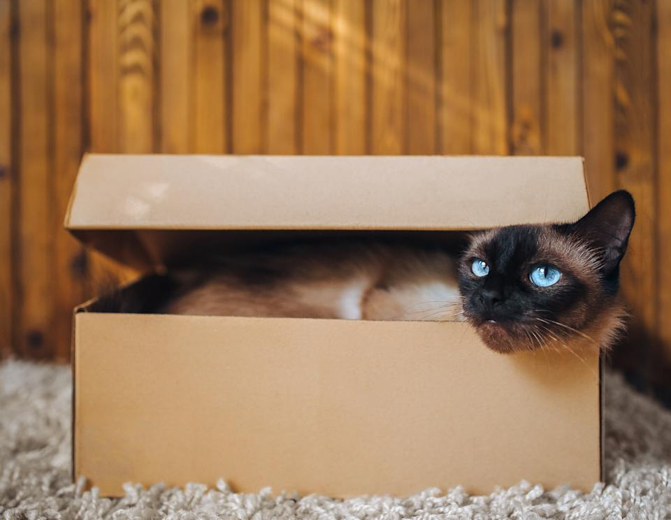The kitten sits in a cardboard box. Playful cat. Siamese breed. Dreamer concept.