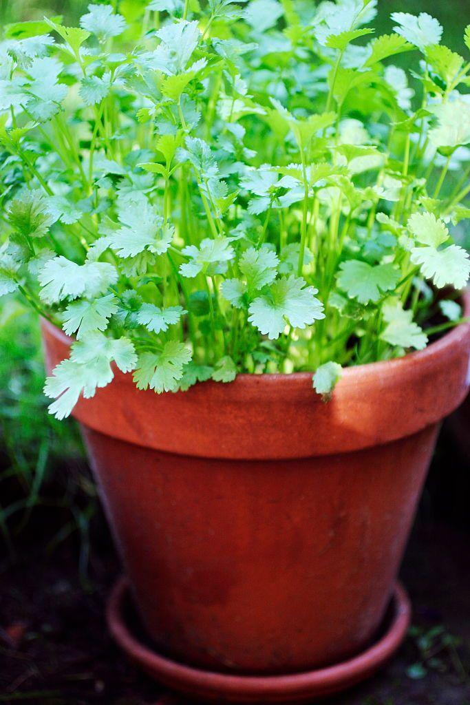 """<p>You might've heard both these terms before and been a little bit confused. To clear things up, cilantro is the leaf, while coriander is the seed which forms after flowering. Cilantro is a cool-weather annual but if it's left to drop seeds, they'll sprout again next spring or when temperatures cool down in the fall.</p><p><a class=""""link rapid-noclick-resp"""" href=""""https://go.redirectingat.com?id=74968X1596630&url=https%3A%2F%2Fwww.burpee.com%2Fherbs%2Fcilantro%2Fcilantro-calypso--prod001758.html&sref=https%3A%2F%2Fwww.thepioneerwoman.com%2Fhome-lifestyle%2Fgardening%2Fg36533467%2Fbest-perennial-herbs%2F"""" rel=""""nofollow noopener"""" target=""""_blank"""" data-ylk=""""slk:SHOP NOW"""">SHOP NOW</a></p>"""