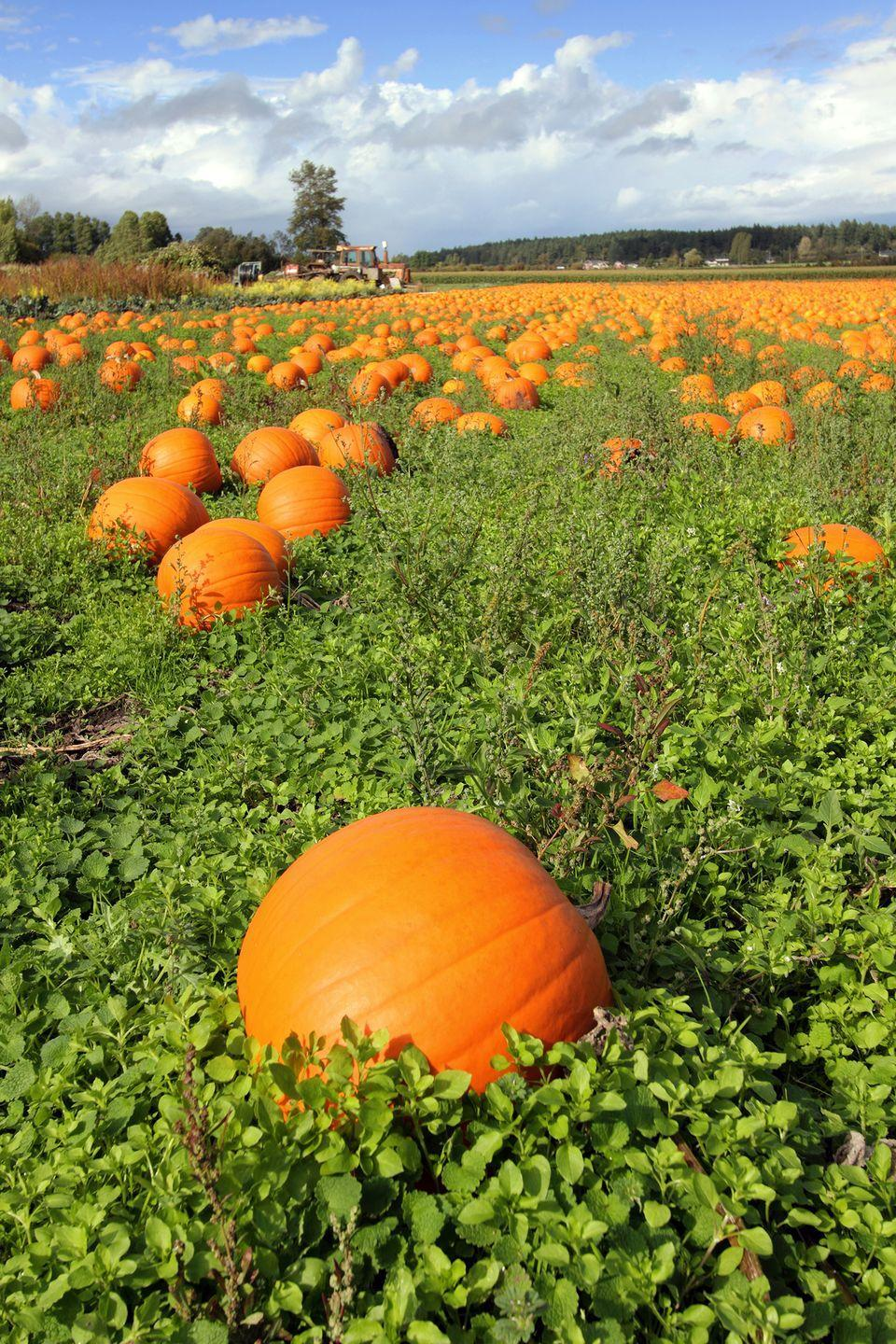"""<p>Beginning September 15, head to <a href=""""http://www.thewaltersfarm.com"""" rel=""""nofollow noopener"""" target=""""_blank"""" data-ylk=""""slk:Walter's Pumpkin Patch"""" class=""""link rapid-noclick-resp"""">Walter's Pumpkin Patch</a> in <a href=""""https://go.redirectingat.com?id=74968X1596630&url=https%3A%2F%2Fwww.tripadvisor.com%2FTourism-g38600-Burns_Kansas-Vacations.html&sref=https%3A%2F%2Fwww.countryliving.com%2Flife%2Ftravel%2Fg21273436%2Fpumpkin-farms-near-me%2F"""" rel=""""nofollow noopener"""" target=""""_blank"""" data-ylk=""""slk:Burns, Kansas"""" class=""""link rapid-noclick-resp"""">Burns, Kansas</a>, for tons of <a href=""""https://www.countryliving.com/life/g2633/fall-bucket-list/"""" rel=""""nofollow noopener"""" target=""""_blank"""" data-ylk=""""slk:fun fall activities"""" class=""""link rapid-noclick-resp"""">fun fall activities</a>. After you've found the perfect pumpkin from their u-pick patch, check out the corn maze, hayrides, farm animals, pumpkin cannons, slides, tree house, and more. Plus, teens and grownups will get a kick out of their <a href=""""https://www.countryliving.com/life/travel/g22855332/ghost-tours-near-me/"""" rel=""""nofollow noopener"""" target=""""_blank"""" data-ylk=""""slk:haunted"""" class=""""link rapid-noclick-resp"""">haunted</a> cannery hayride and nighttime flashlight maze.</p><p><a class=""""link rapid-noclick-resp"""" href=""""https://go.redirectingat.com?id=74968X1596630&url=https%3A%2F%2Fwww.tripadvisor.com%2FAttractions-g38600-Activities-Burns_Kansas.html&sref=https%3A%2F%2Fwww.countryliving.com%2Flife%2Ftravel%2Fg21273436%2Fpumpkin-farms-near-me%2F"""" rel=""""nofollow noopener"""" target=""""_blank"""" data-ylk=""""slk:PLAN YOUR TRIP"""">PLAN YOUR TRIP</a></p>"""