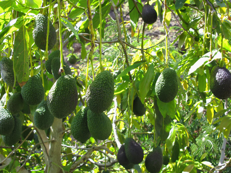 Avocados actually don't ripen while on the tree, even when it's physiologically mature. They only ripen once picked. (Digitaler Lumpensammler via Getty Images)