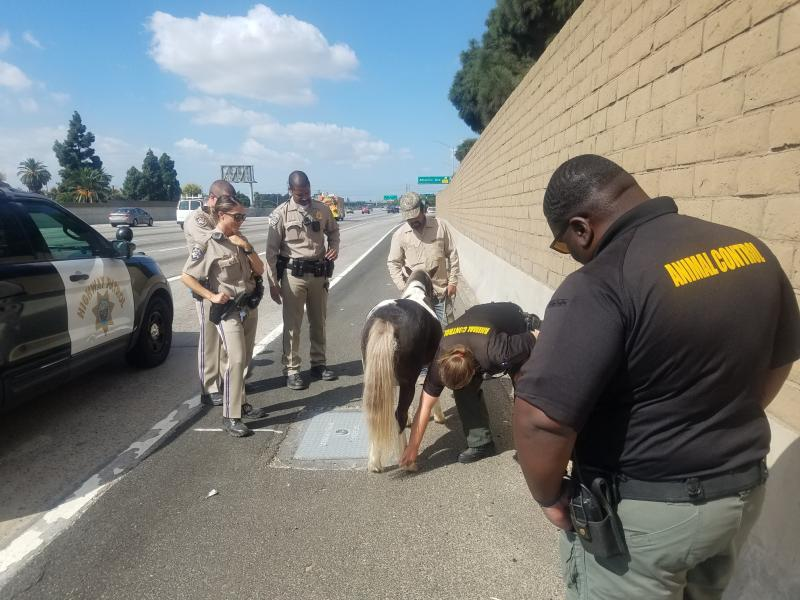 This Sunday Sept. 29, 2019 photo provided by California Highway Patrol, Santa Fe Springs shows animal control officers checking a pony that was struck on the westbound State Route 91 in Long Beach, Calif. The California Highway Patrol says a 10-year-old boy had been riding the pony Sunday at a home when he fell off and the animal ran away. The CHP says the pony made its way onto the freeway where it was clipped by a black SUV. The driver sped away. CHP Officer Marco Iniguez tells the Los Angeles Times that good Samaritans stopped to help the injured animal, which suffered abrasions to its forelegs. The horse was evaluated by animal control officers and reunited with its owner. (CHP Santa Fe Springs via AP)