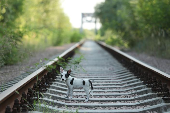 A stray puppy walks along abandoned train tracks near the Chernobyl nuclear power plant on August 19, 2017.