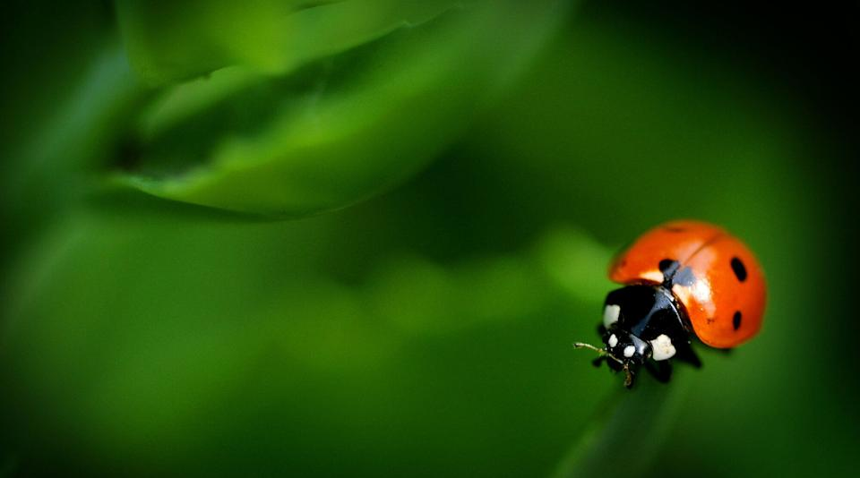 A ladybug clings to the edge of a Stone Crop Sedum leaf on Tuesday morning June 25, 2013, in Salina, Kan. (AP Photo/Salina Journal, Tom Dorsey)