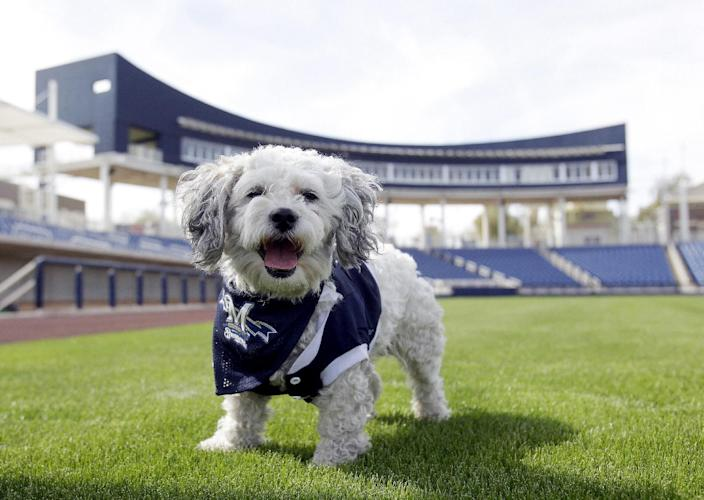 """In this Feb. 22, 2014 photo, Milwaukee Brewers mascot, Hank, is at the team's spring training baseball practice in Phoenix. The team has unofficially adopted the dog and assigned the name """"Hank"""" after baseball great Hank Aaron. (AP Photo/Rick Scuteri)"""