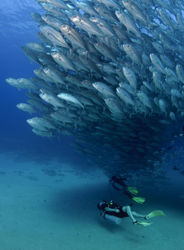 PIC BY OCTAVIO ABURTO / CATERS NEWS - (PICTURED Divers swim beneath the spawning fish) - Smile - its the school photo! This is the hilarious moment a marine photographer managed to capture hundreds of wide-eyed fish apparently posing for a picture. Californian photographer and conservationist Octavio Aburto had spent years photographing the school in Cabo Pulmo National Park, Mexico - and had been trying to capture this exact shot for three years. The Bigeye travellies fish gather in their thousands in the oceans during courtship.