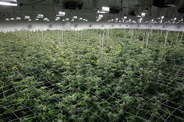 <p>Marijuana plants receive light at the Desert Grown Farms cultivation facility in Las Vegas, Nev., June 28, 2017. (Photo: John Locher/AP) </p>