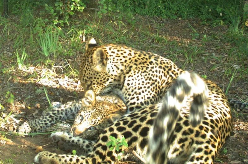 A leopard and cub in the Soutpansberg Mountains, South Africa, where the population has crashed amid illegal hunting (Durham University)