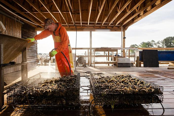 <p>Oysters harvested from the Rappahannock River. (Photo: Chesapeake Bay Program) </p>