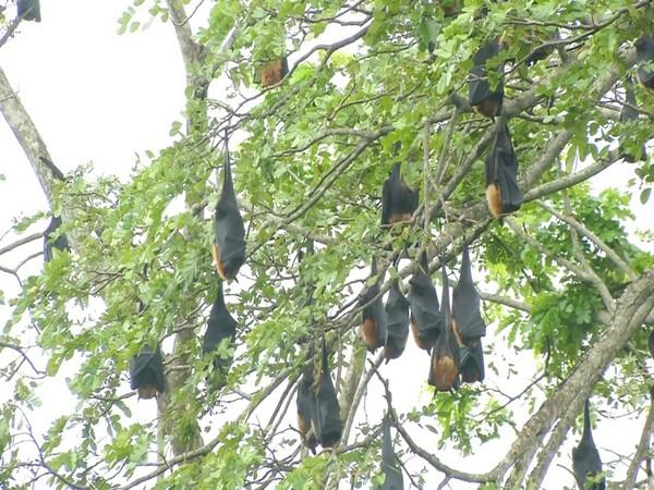 Bats resting on tress in the banks of the Tunga river.