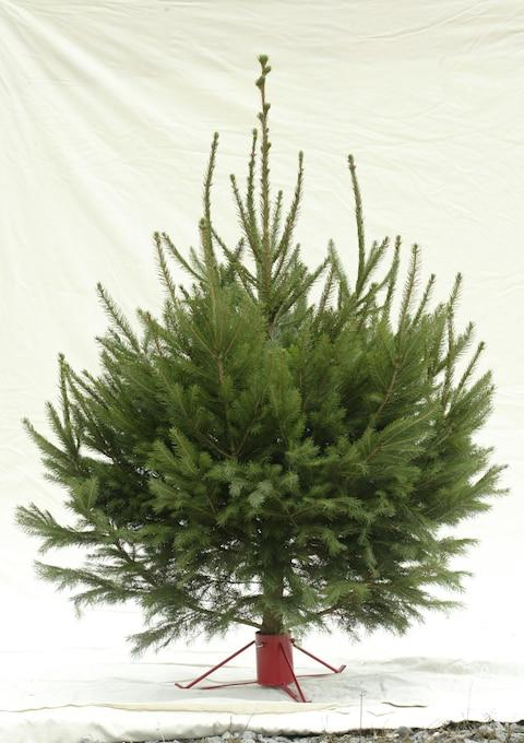 Norway Spruce Christmas Tree - Credit: Andrew Crowley