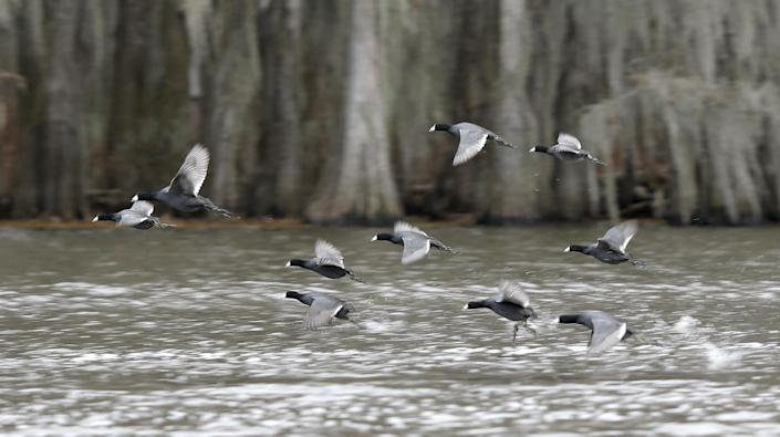 In this photo made Wednesday, Feb. 26, 2014, water fowl take flight from the water on Caddo Lake near Uncertain, Texas. Scientists and researchers from a half-dozen state, federal and private agencies are planning to release up to 50 paddlefish into this Texas lake they once called home. (AP Photo/LM Otero)
