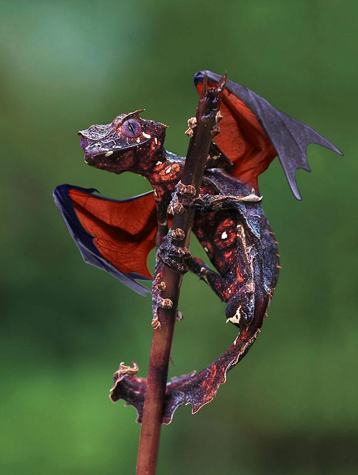 "The Dragon Gecko, ""Satanic Leaf Tailed Gecko with Flying Fox wings."" <a target=""_blank"" href=""http://i.imgur.com/I4V777F.jpg"">Photo</a> created by <a href=""http://www.reddit.com/user/Felfriast"">Felfriast</a>.<span><a href=""http://i.imgur.com/I4V777F.jpg""></a></span>"