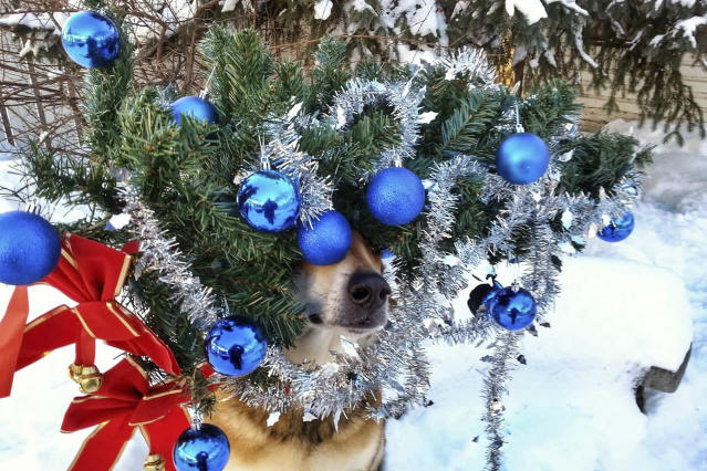 <p>Toby balances a Christmas tree on his head. (Photo: Pat Langer/Caters News) </p>