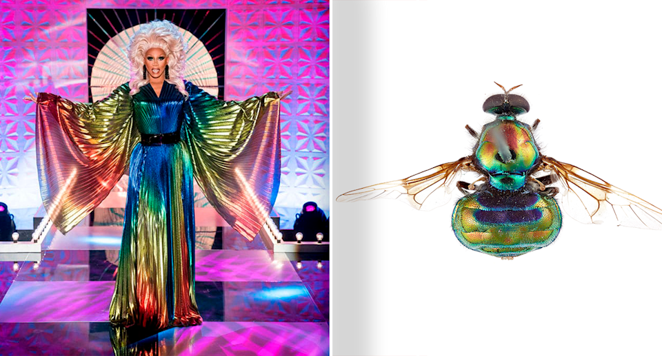 A soldier fly has been named after the world's most famous drag queen, RuPaul. Source: BBC /  Bryan Lessard, CSIRO