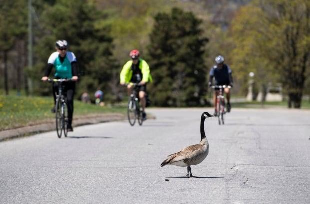 A Canada Goose stands on the westbound lane of the Sir John A. Macdonald Parkway in Ottawa on May 18, 2020.