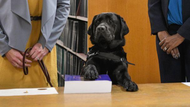 PHOTO: Hatty's primary handler and victim witness specialist Stephanie Coehlo, left, holds the black lab as Hatty is sworn in by Cook County State's Attorney Kimberly Foxx at the George N. Leighton Criminal Courthouse in Chicago, Oct. 29, 2019. (Cook County State's Attorney)