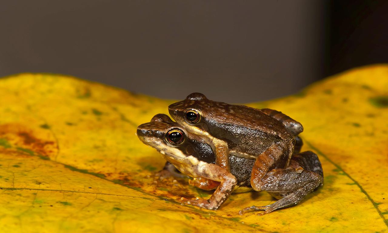 This undated photograph shows a frog couple from one of the 14 new species of so-called dancing frogs discovered by a team headed by University of Delhi professor Sathyabhama Das Biju in the jungle mountains of southern India. The study listing the new species brings the number of known Indian dancing frogs to 24 and attempts the first near-complete taxonomic sampling of the single-genus family found exclusively in southern India's lush mountain range called the Western Ghats, which stretches 1,600 kilometers (990 miles) from the west state of Maharashtra down to the country's southern tip. (AP Photo/Satyabhama Das Biju)