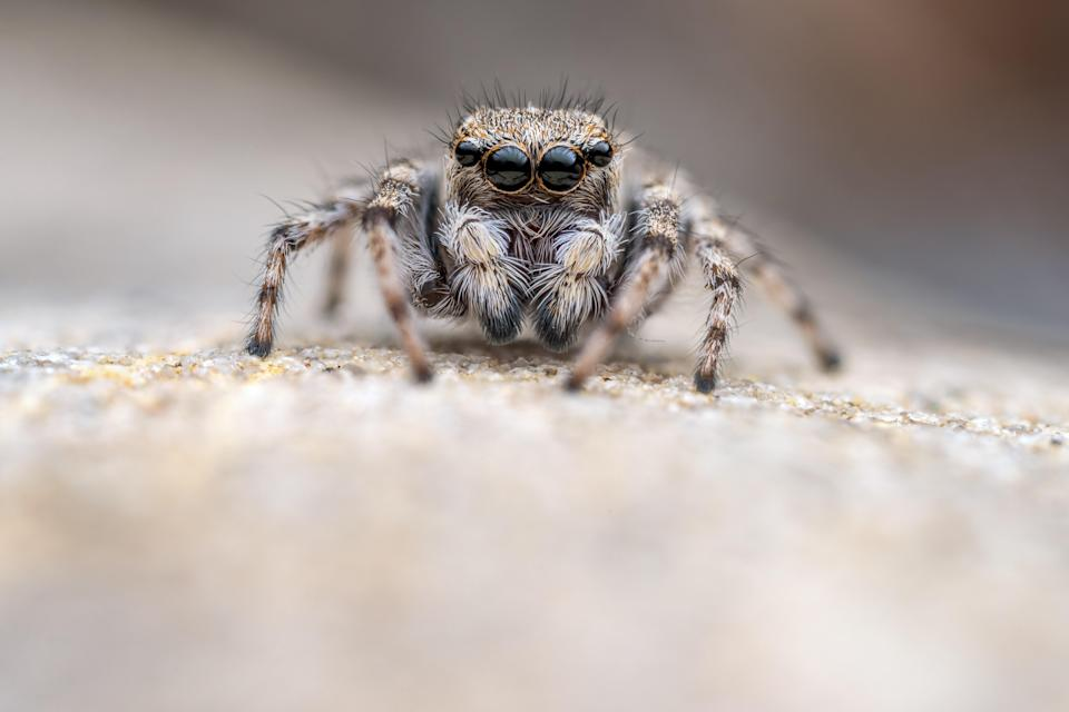 The Critically Endangered Distinguished jumping spider lives at the site (Roman Willi)