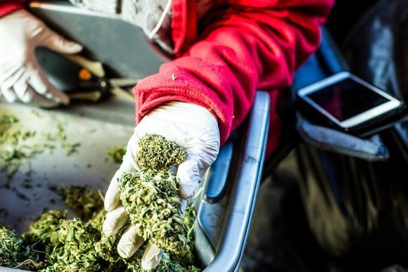 A cannabis worker holding a trimmed bud in their hand.