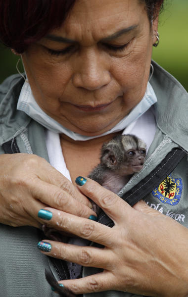Caretaker Marta Silva places a baby night monkey close to her chest after showing it to a news photographer at a wildlife shelter in Bogota, Colombia, Thursday, Feb. 21, 2013. The tiny night monkey is with Silva 24 hours a day, nestled in a wool pouch inside her coat or beside her while she sleeps. Silva works with the neonatal unit of Bogota's Wildlife Reception Center, part of the capital's environment ministry, where she has nurtured species ranging from birds to turtles to primates. Now she is looking after the night monkey of the genus Aotus that lives in the tropical forests of South America, including Colombia, Brazil and Ecuador. (AP Photo/Fernando Vergara)