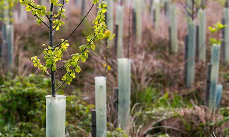 Young Birch trees in protective plastic tubes growing near Garsdale, England.