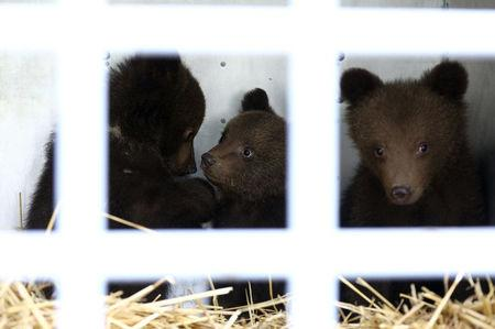 Three bear cubs who were found by the Bulgarian authorities in the wild and rescued at the Dancing Bears Park are pictured inside a bus near Belitsa, Bulgaria, May 23, 2018, before their relocation to a bear orphan station in Greece. REUTERS/Stoyan Nenov