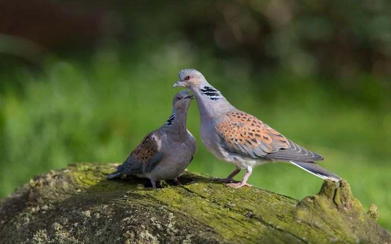 Turtle doves are under threat - Getty Images Contributor