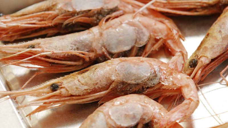 Shrimp are lined up to be examined at the University of Maine. (Photo: Michael Caravella/HuffPost)