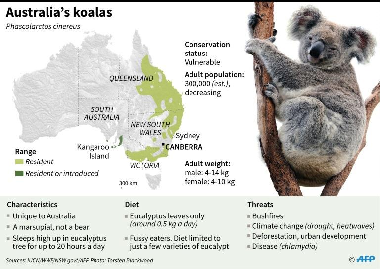 Factfile on koalas, whose numbers have been decimated by bushfires in Australia (AFP Photo/Gal ROMA)