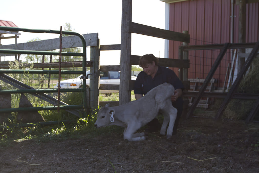 Mt. Pleasant, MI: Dr. Brenda examines a sick calf.