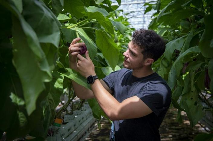 Lufa Farms spokesman Thibault Sorret shows off vegetables grown at what it says is the world's largest commercial rooftop greenhouse in Montreal