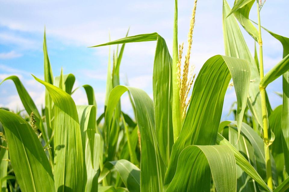 <p>Corn is a great bet for a quick and rewarding summer harvest. This fast-growing crop thrives well in USDA Hardiness Zones 3-10 and will make an excellent addition to your summer meals. Start with a small plot of corn and slowly expand for the best results. </p>