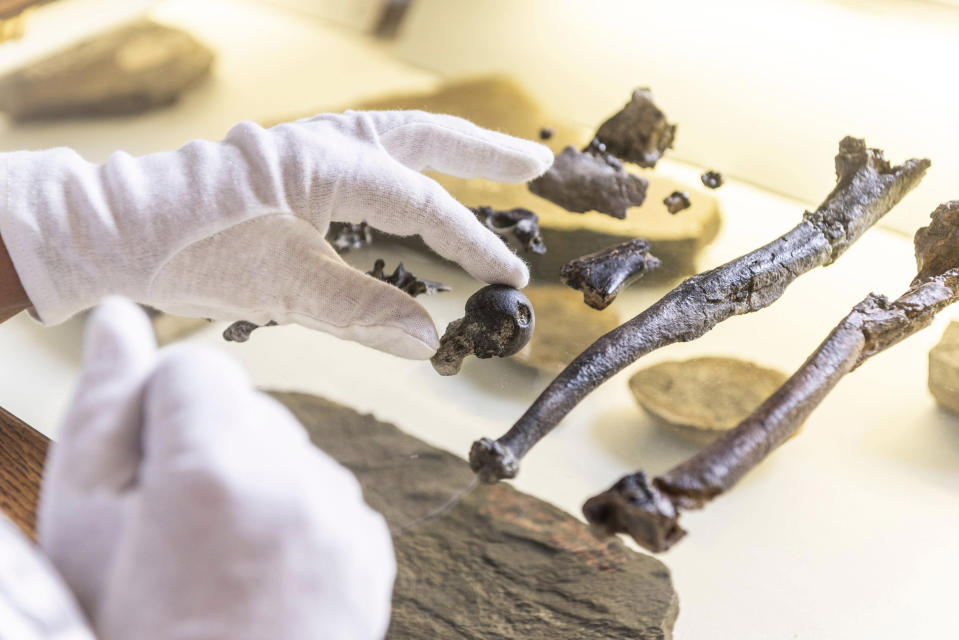 A man holds bones of the previously unknown primate species Danuvius guggenmosi in his hand in Tuebingen, Oct.17, 2019. Palaeontologists have discovered fossils in southern Germany that shed new light on the development of the upright corridor. (AP Photo/Christoph Jaeckle)