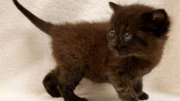 PHOTO: Burrito, a 6-week-old kitten, has beaten the genetic odds by being born a boy. (Animal Welfare Association )