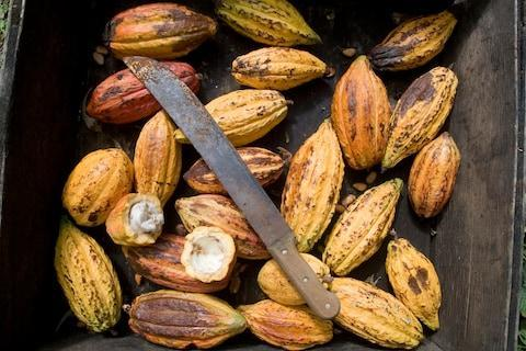 <span>Cocoa pods</span> <span>Credit: GETTY </span>