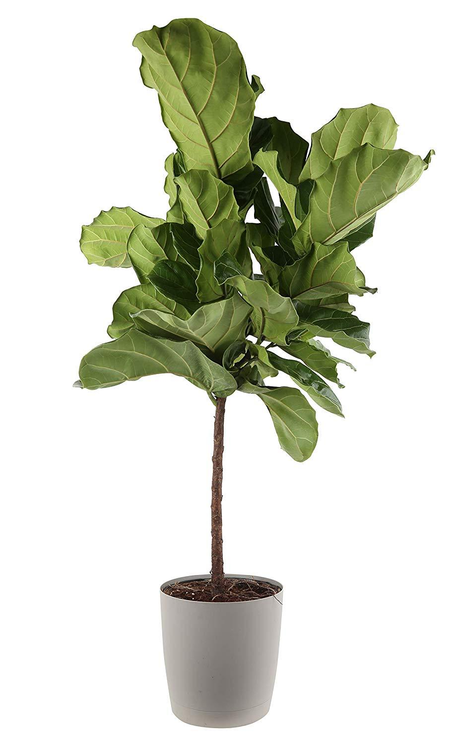 Play around with the fiddle-leaf fig. (Photo: Amazon)