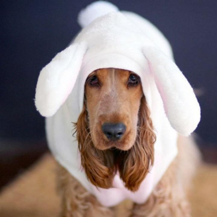 Eggs-tremely cute cocker spaniel alert! This golden girl makes one pretty bunny.