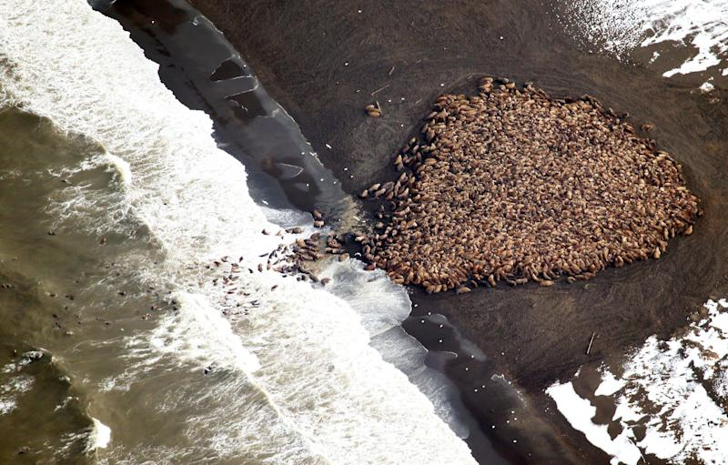 An estimated 35,000 walruses hauled out on a beach near Point Lay, Alaska, in 2014. Scientists say the walruses hauled out on the beach because of the lack of sufficient sea ice, which they would normally use.