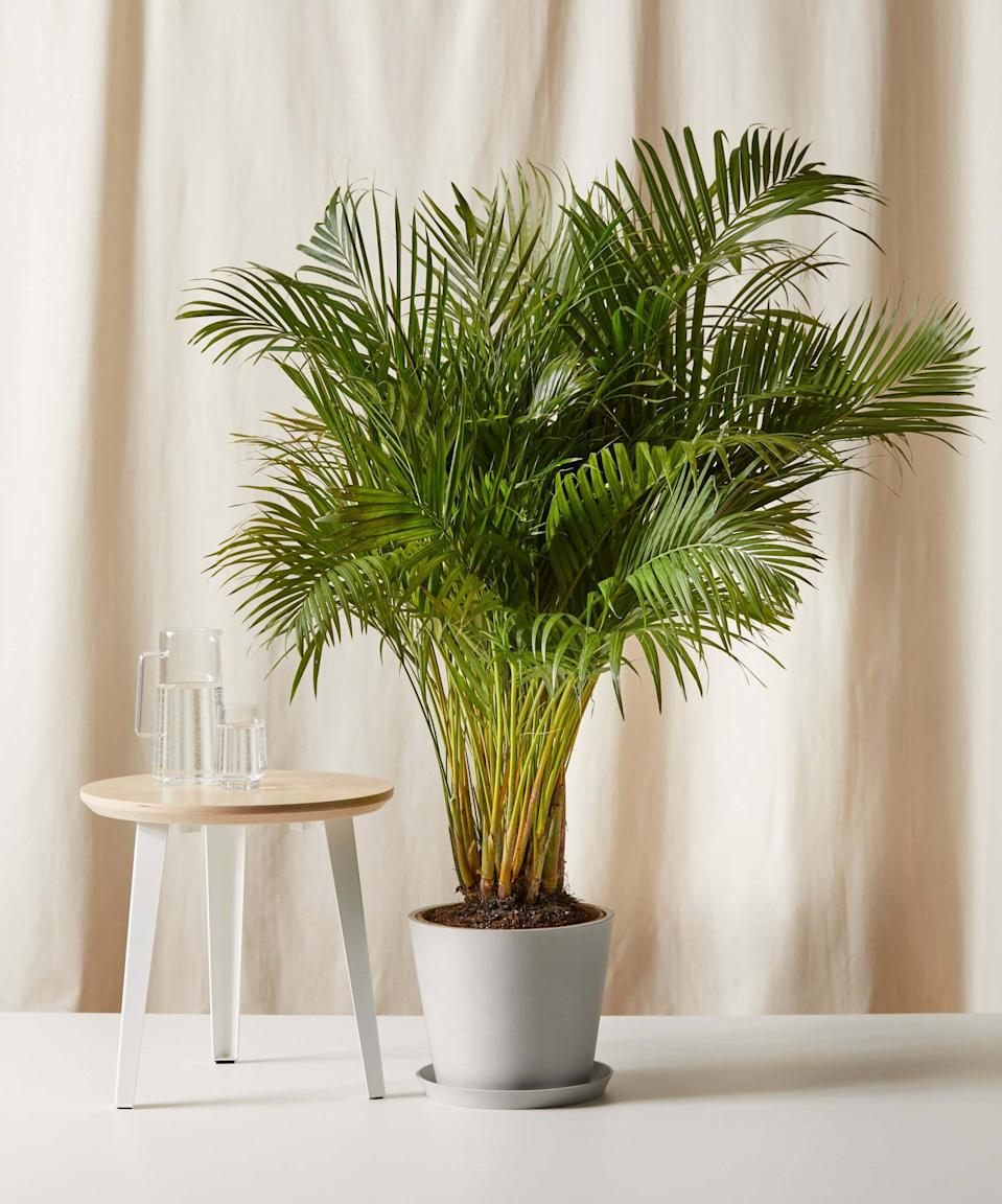 <p>Create your perfect indoor oasis this summer with this <span>Bloomscape Areca Palm</span> ($199), which will add a tropical vibe with its wispy green leaves. It is non-toxic and pet-friendly and enjoys bright indirect light.</p>