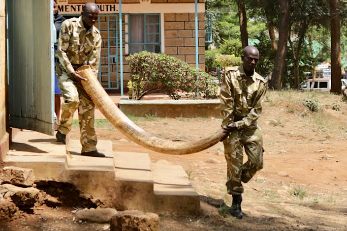 Kenya Wildlife Service officers carry a 100lb tusk from a poached elephant from a court room in Kenya where it was presented as evidence.'Walk For Giants' /Francesco Carrozzini/Riccardo Ruini