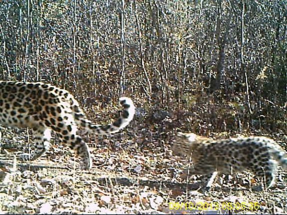 Amur Leopard Cubs Spotted on Critter Cam in China