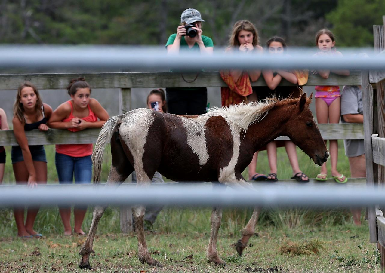 ASSATEAGUE ISLAND, VA - JULY 21: Young children look at a wild pony after it was brought to a holding pen before making next weeks annual swim across the Assateague Channel to Chincoteague Island, on July 21, 2012 in Assateague Island, Virginia. Each year the wild ponies are auctioned off by the Chincoteague Volunteer Fire Company. (Photo by Mark Wilson/Getty Images)