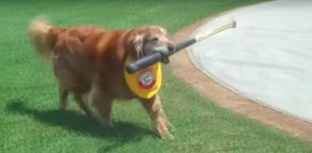 Trenton Thunder bat dog Derby has been on the job since 2008. (Screen shot via AATrentonThunder on Youtube)