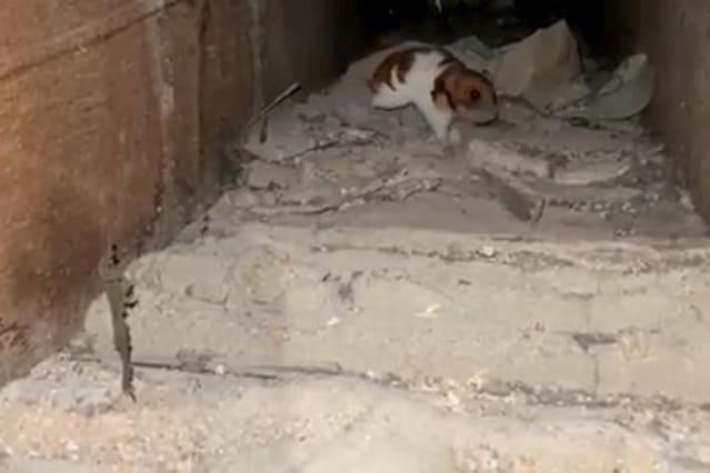 Houdini the hamster is discovered - living under the floorboards
