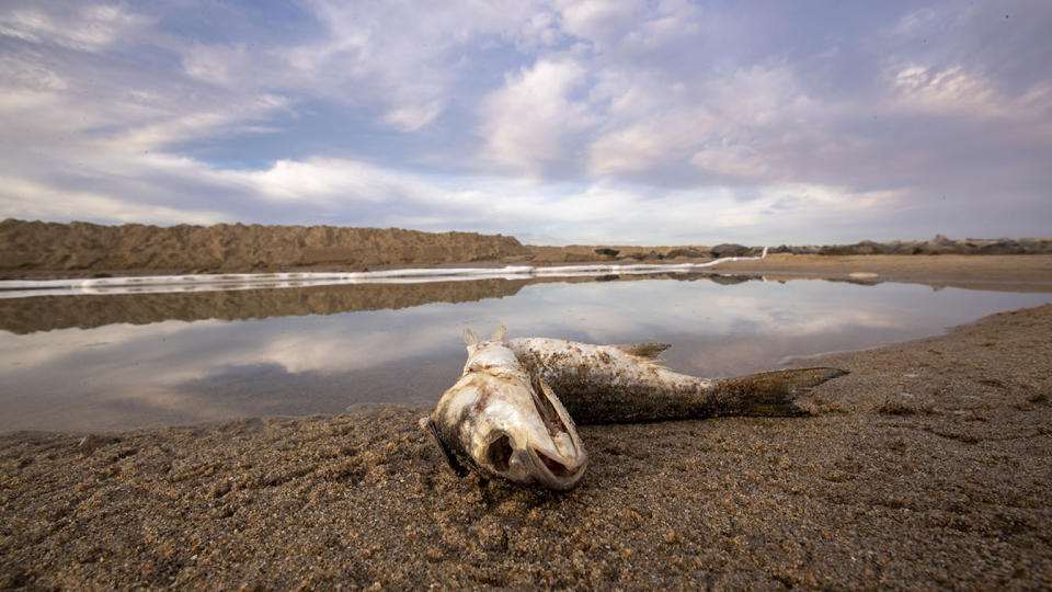 Huntington Beach, CA - October 04:  On of a few dead fish lies on the sand after water, oil, forming globules, foam and sheen receded that flowed in from high tide and was held back by a sand berm and boom as a major oil spill washes ashore on the border of Huntington Beach and Newport Beach at the Santa Ana River Jetties Monday, Oct. 4, 2021. Cleanup crews began cleaning up the  the damage from a major oil spill off the Orange County coast that left crude spoiling beaches, killing fish and birds and threatening local wetlands. The oil slick is believed to have originated from a pipeline leak, pouring 126,000 gallons into the coastal waters and seeping into the Talbert Marsh as lifeguards deployed floating barriers known as booms to try to stop further incursion, said Jennifer Carey, Huntington Beach city spokesperson. At sunrise Sunday, oil was on the sand in some parts of Huntington Beach with slicks visible in the ocean as well. We classify this as a major spill, and it is a high priority to us to mitigate any environmental concerns, Carey said. Its all hands on deck. (Allen J. Schaben / Los Angeles Times via Getty Images)