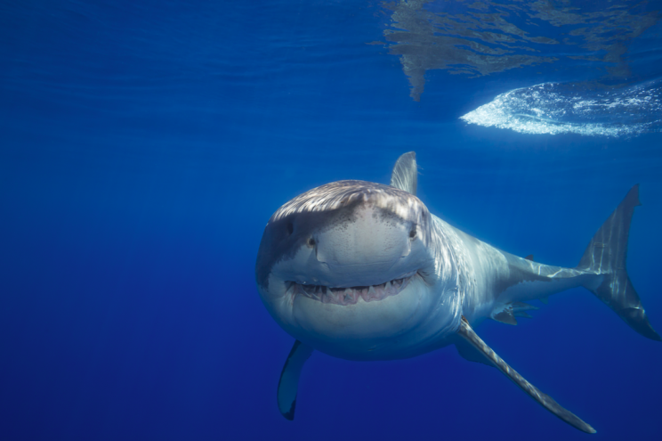Is a great white roaming UK waters? (Picture: Rex)