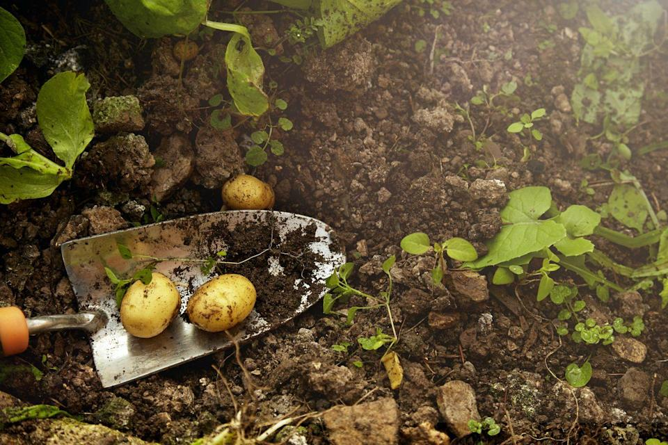 """<p>Potatoes grow best in a sunny spot, so avoid planting in months prone to harsh frosts. If you have plenty of space in your vegetable patch, why not give potatoes a try. </p><p><a class=""""link rapid-noclick-resp"""" href=""""https://www.thompson-morgan.com/p/potato-maris-piper/ZWW5059TM"""" rel=""""nofollow noopener"""" target=""""_blank"""" data-ylk=""""slk:BUY NOW VIA THOMPSON & MORGAN"""">BUY NOW VIA THOMPSON & MORGAN</a></p>"""